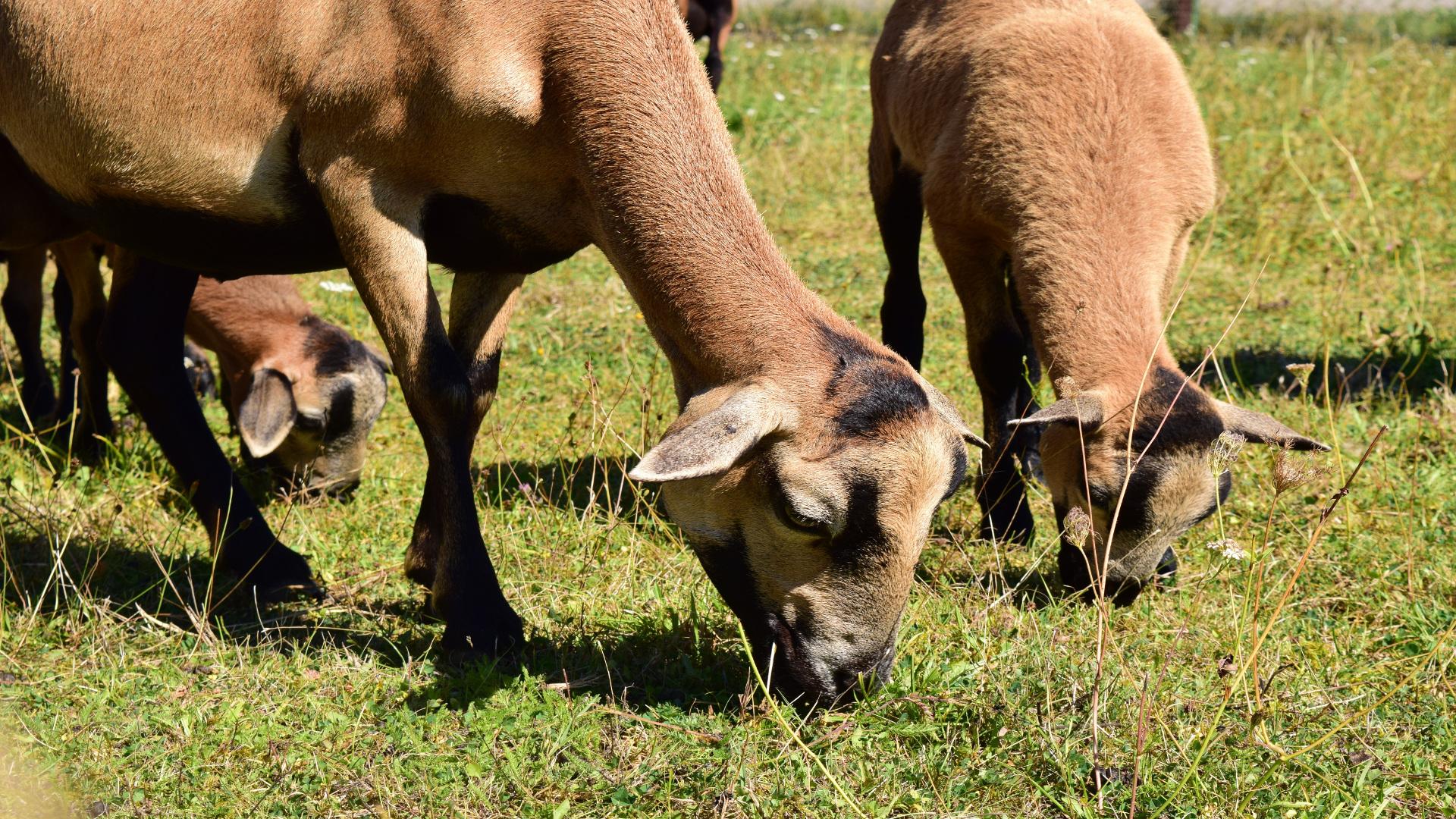 Las cabras bomberas que tiene el monte vecinal de Meira en Moaña1920