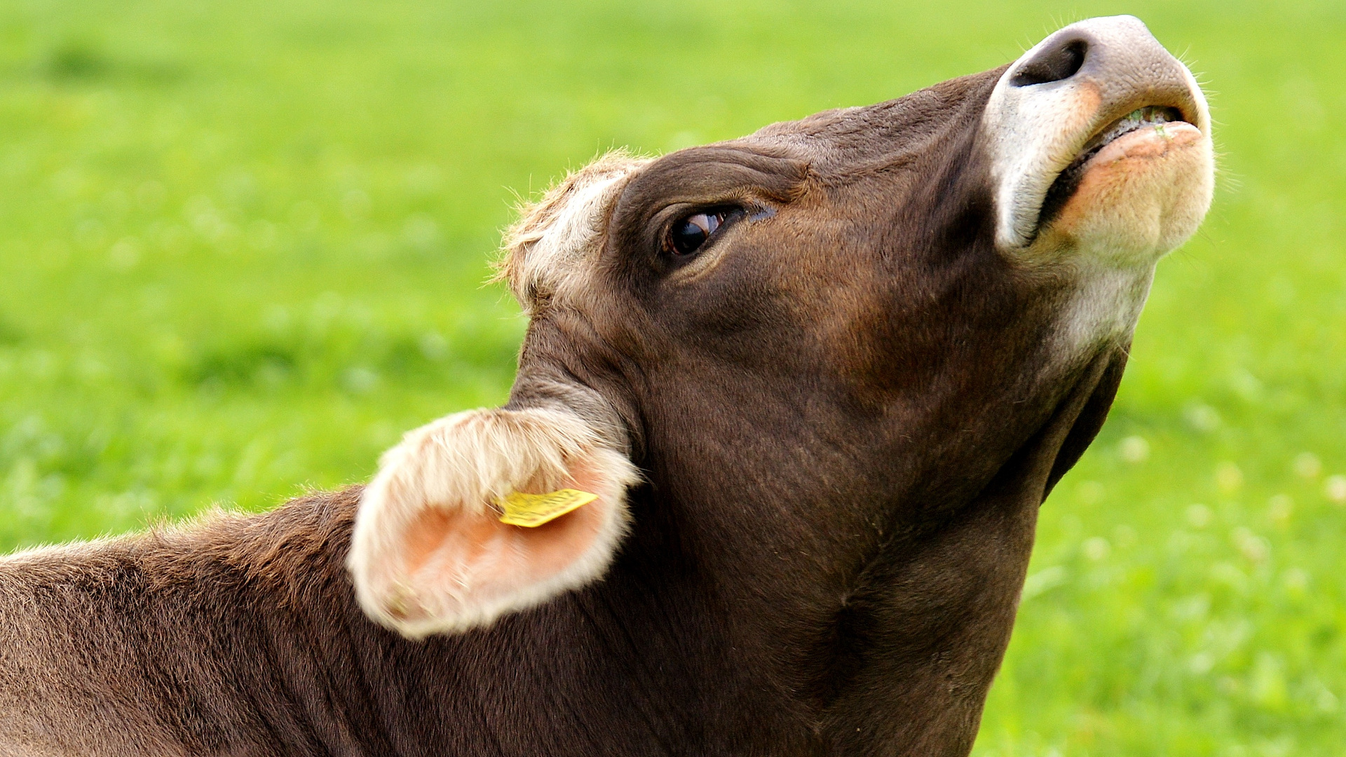 Como controlar el estres por calor en las vacas.1920