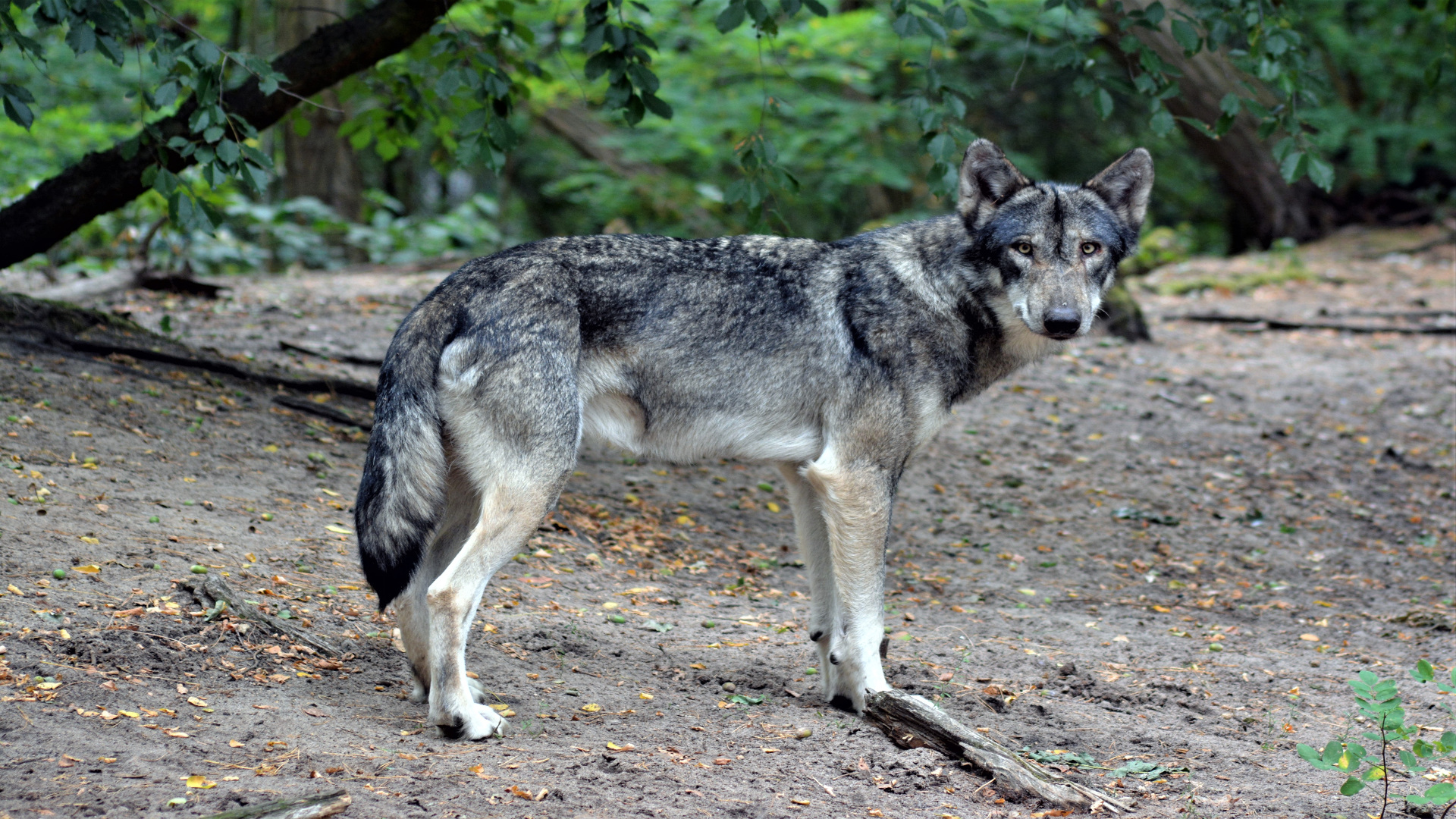 Los daños del lobo se duplicaron entre 2015 y el 2017.1920