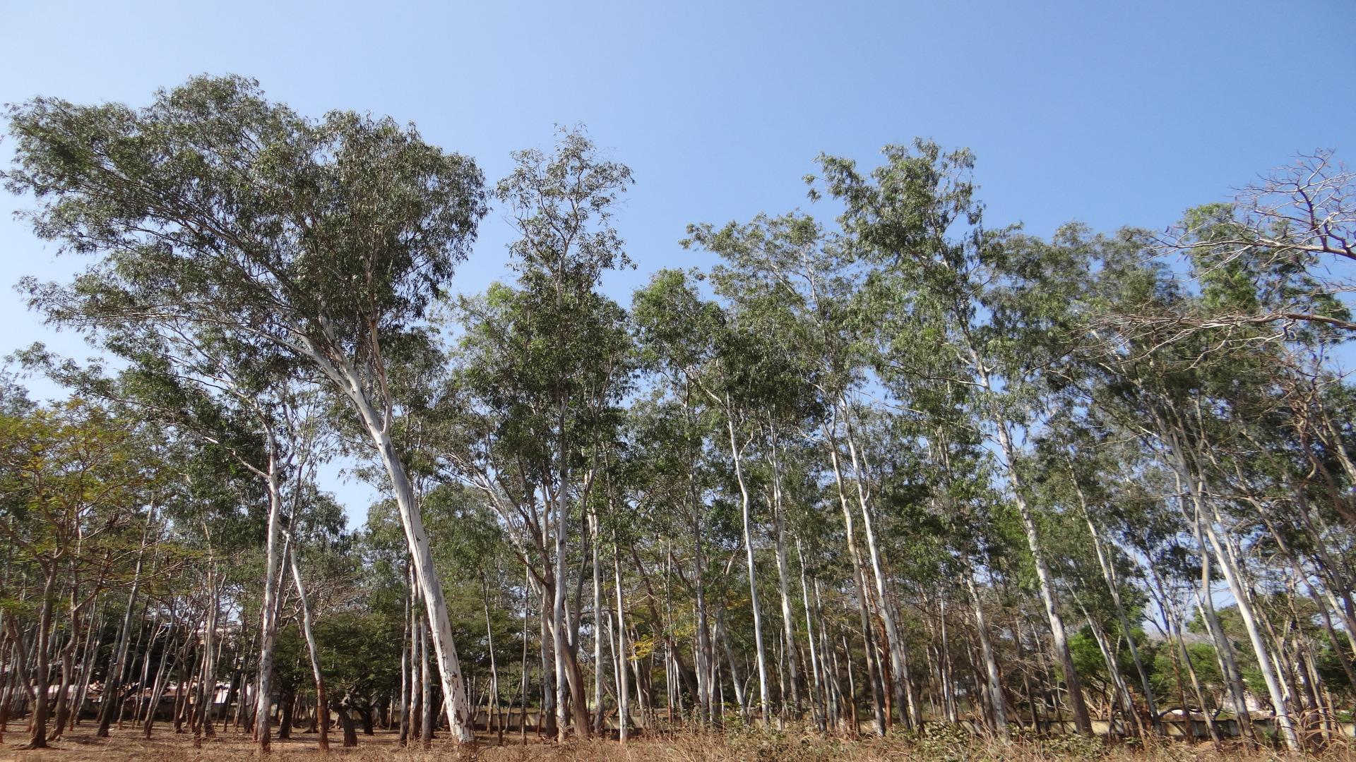 Se-baraja-restringir-la-plantacion-de-eucaliptos-sobre-pinares-cortados.1920