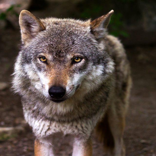 Ayudas para prevenir los daños provocados por el lobo y el jabalí