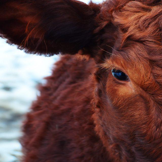 Las vacas no son tan tontas como parecen