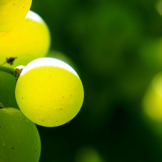 75 millones en indemnizaciones para el sector de la uva por meteorología adversa