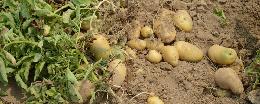 Medio Rural indemnizará a los afectados por la polilla de la patata y otras tres plagas