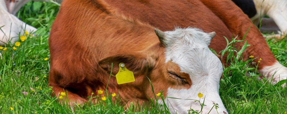 Bayer subvencionará a los ganaderos de vacuno que innoven en bienestar animal