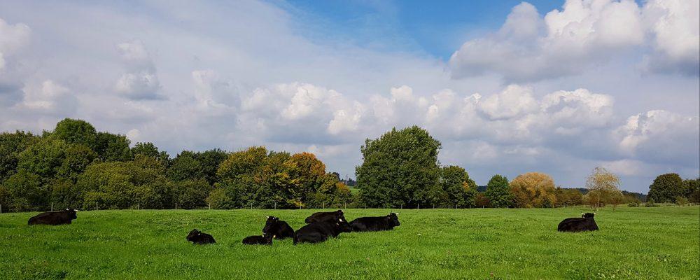 ¿Por qué en producción de vacuno de carne Irlanda es una potencia mundial?