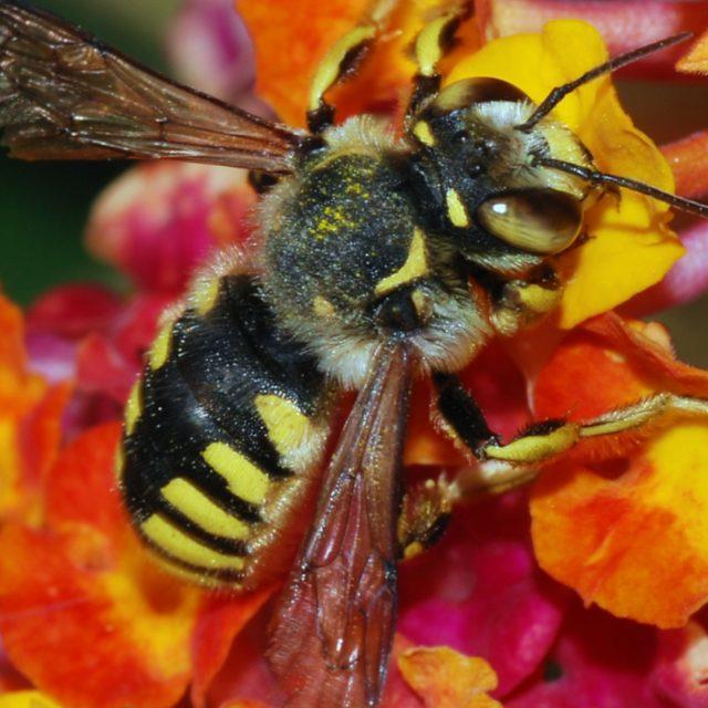 El ataque de la velutina a nuestras amigas las abejas