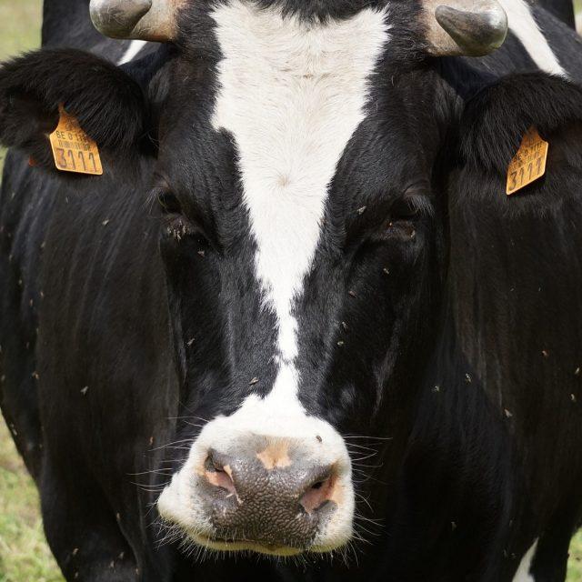 Éxito de una solución para combatir moscas y parásitos del ganado