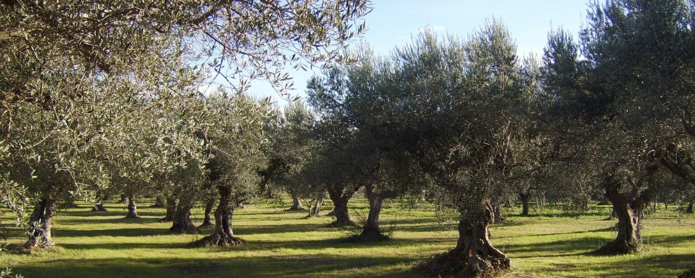 La Xylella fastidiosa echa raíces en la Península Ibérica