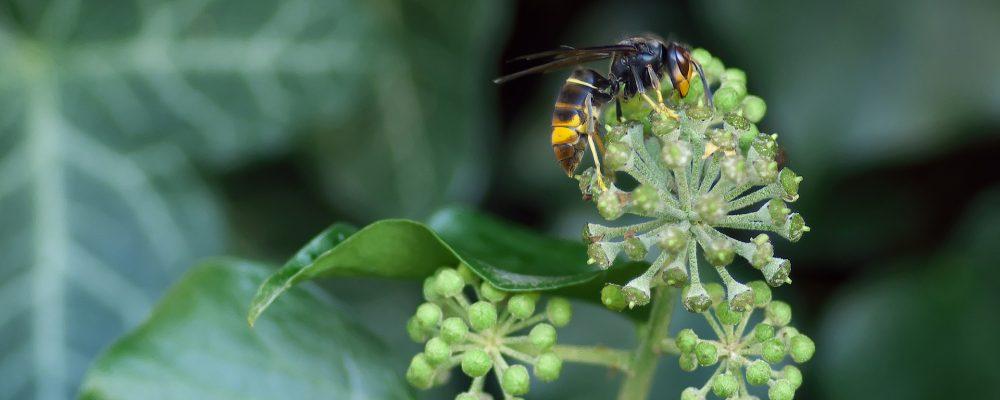 Más del 30% de la producción de miel afectada por la avispa asiática