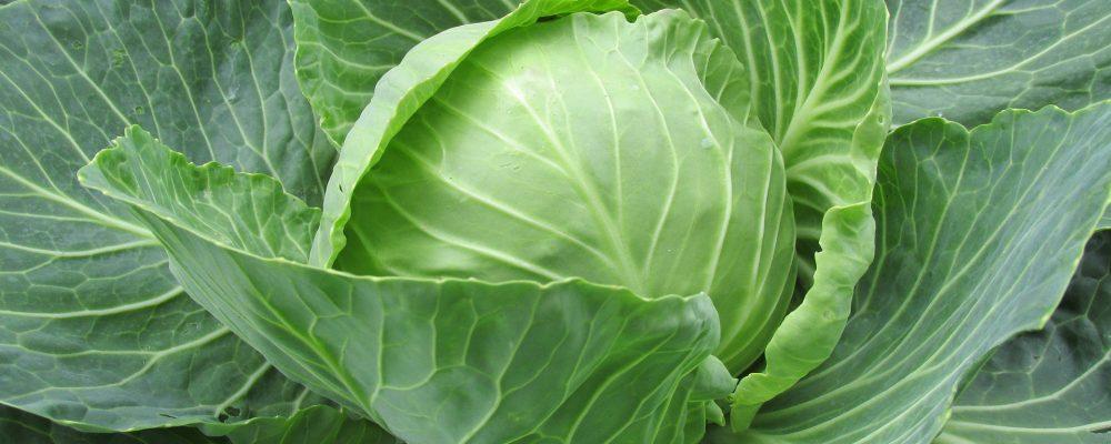 Repollo, una de las mejores verduras de la temporada otoño-invierno