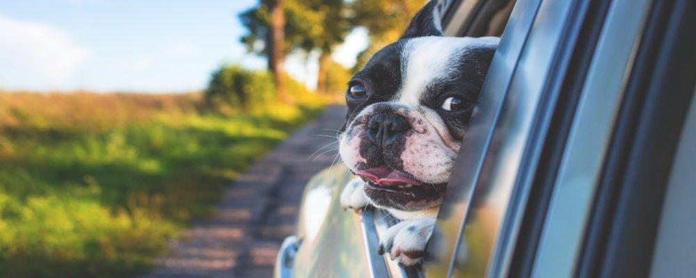 Aunque no lo creas, el tintado de lunas del coche es perfecto para tu perro
