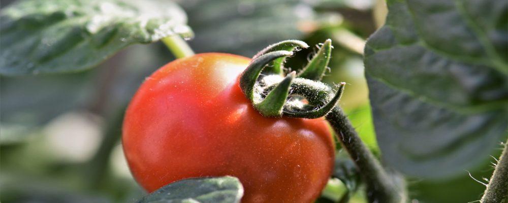 Controlar lechugas y tomates desde el móvil