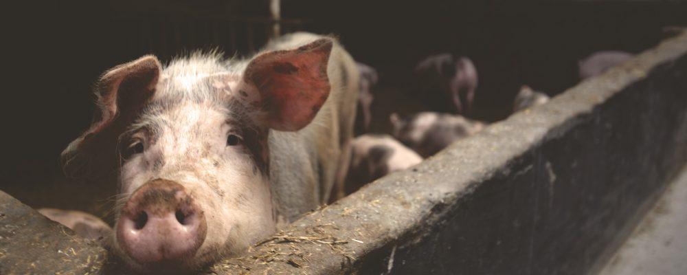Demasiados antibióticos en la cría de animales