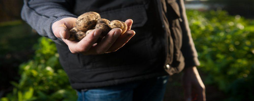 Retiradas ya 315 toneladas de patatas por culpa de la polilla guatemalteca