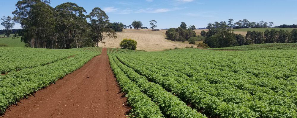 Se cumple un año desde la prohibición de cultivar patatas