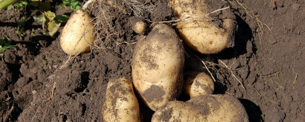 Hasta el 1 de octubre para solicitar indemnizaciones por la polilla de la patata