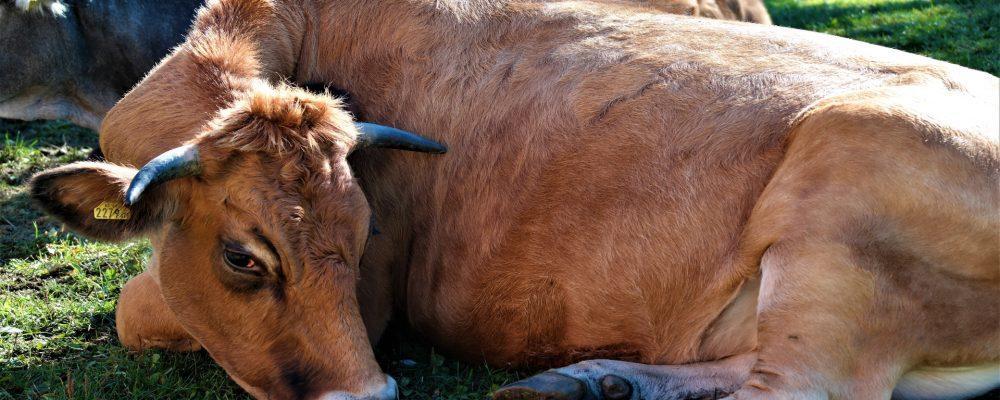 Las vacas preñadas