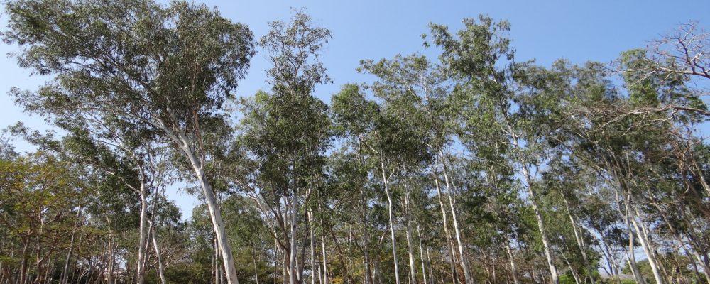 Se baraja restringir la plantación de eucaliptos sobre pinares cortados