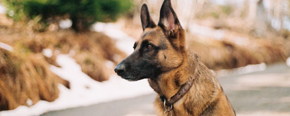 Convocatoria para la obtención del título de adiestramiento de perros de guardia y defensa
