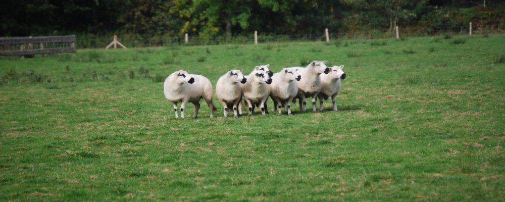 Este sábado se celebra en Lugo una jornada sobre comercialización y cooperativismo de ovino y caprino