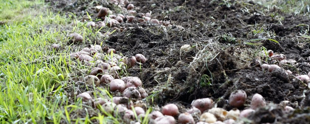 Consejos para la plantación de patatas en un año lluvioso