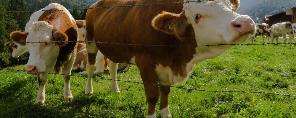 Si una vaca cruza un monte público asturiano será sancionada con más del triple que si un conductor se salta 2 veces un semáforo en rojo