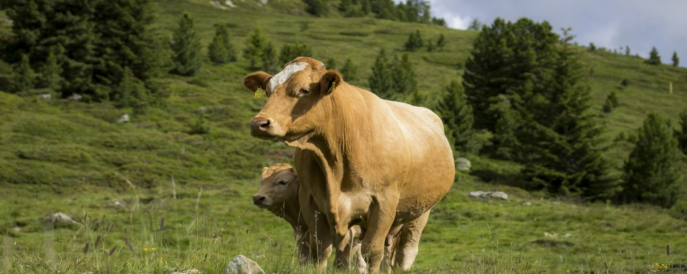 Preguntas frecuentes sobre la gestación de las vacas