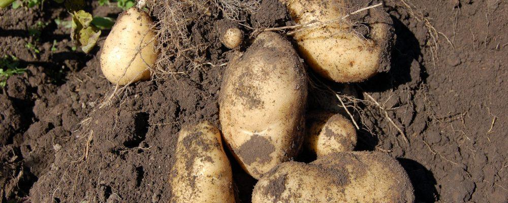 La Xunta inicia el pago de indemnizaciones por la patata
