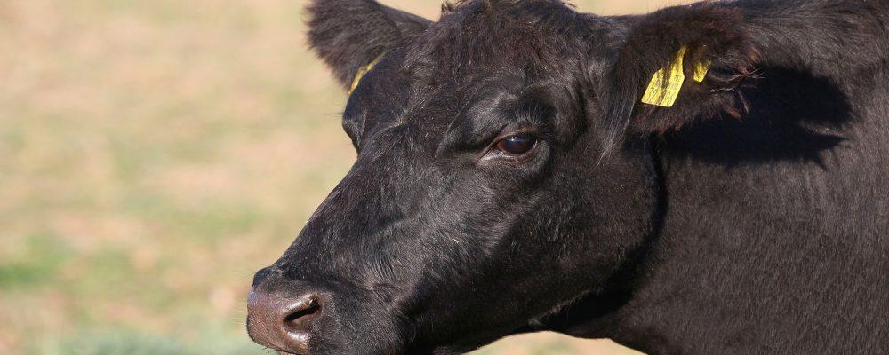 Ayudas por vacas de leche 126 euros por animal y vacas de carne 91 euros
