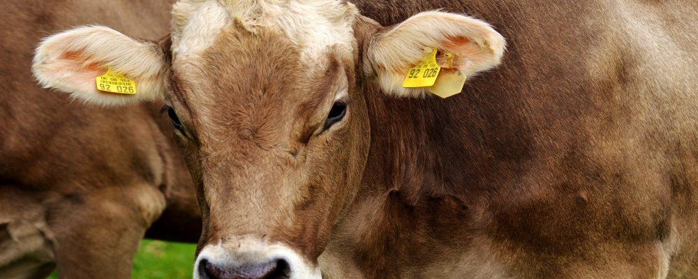 Desmanteladas dos organizaciones que alteraban los crotales del ganado vacuno