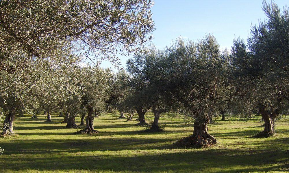la xylella fastidiosa echa raices en la peninsula iberica