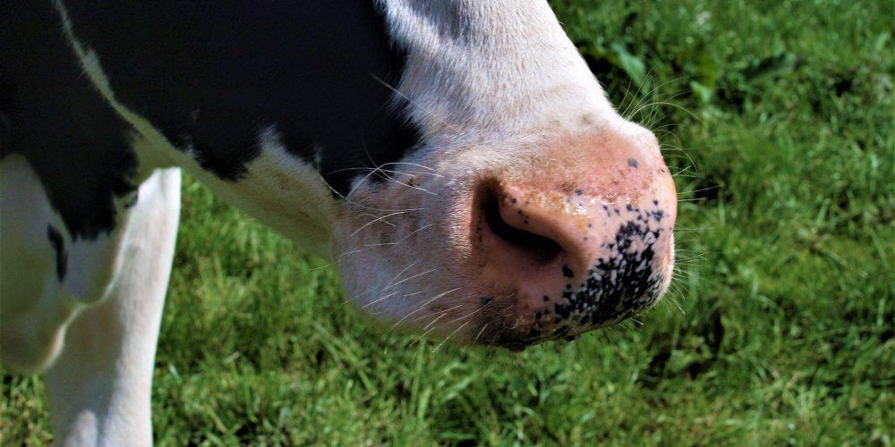Cuatro claves para mover a las vacas de forma efectiva y segura