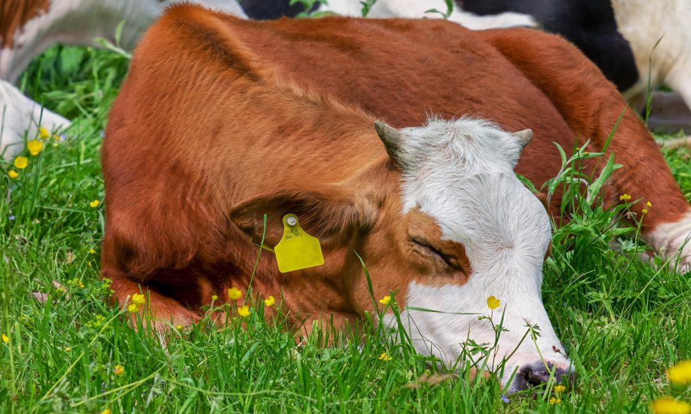 La iniciativa en la que los consumidores garantizan que el ganadero recibe 0,39 centimos por litro de leche llega a Galicia.1920
