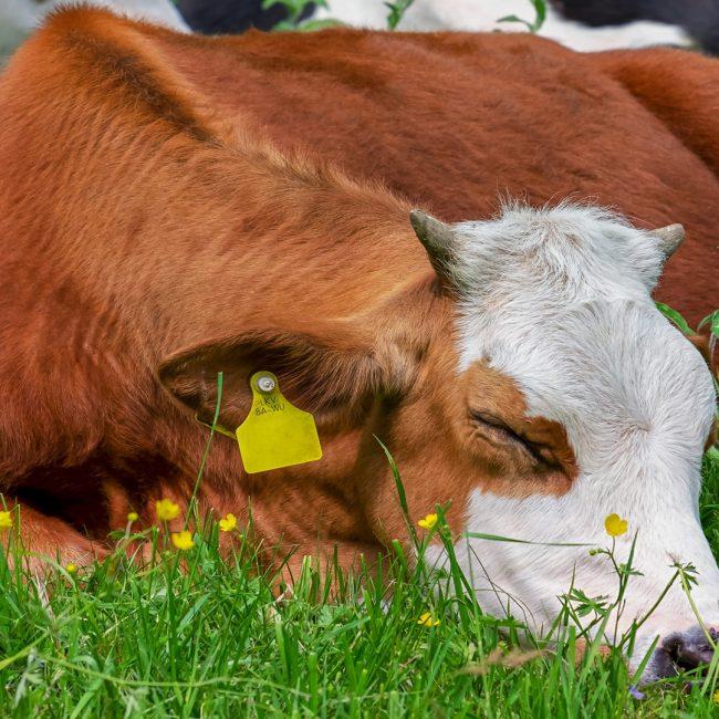 La iniciativa en la que los consumidores garantizan que el ganadero recibe 0,39 céntimos por litro de leche
