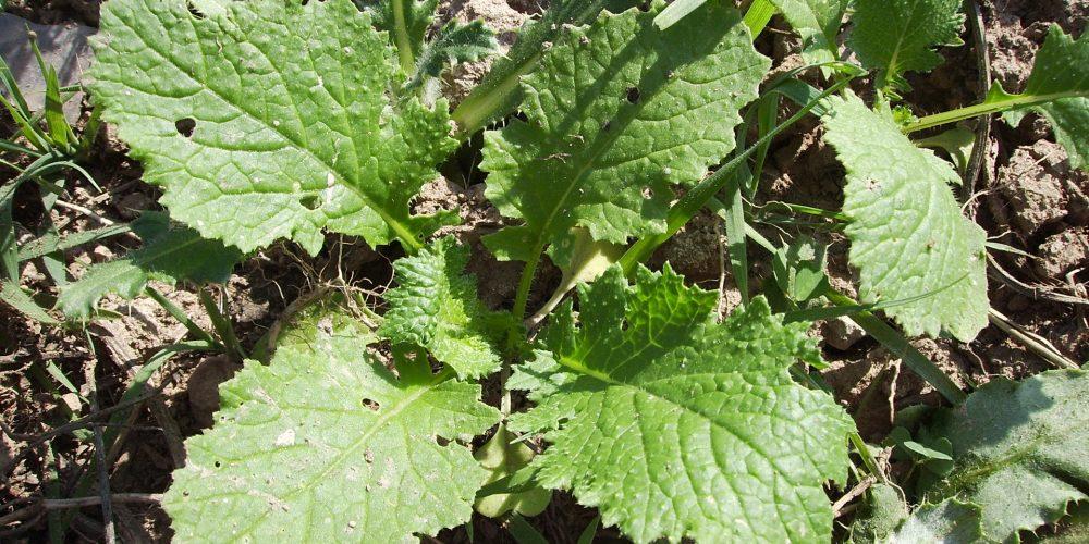 Grelos, una de las verduras con más clorofila que protege las células