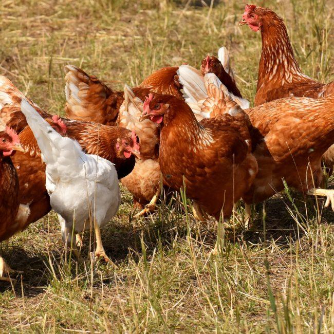 Por meterse donde no lo llamaban: Un grupo de gallinas mata a picotazos a un zorro que se coló en su corral