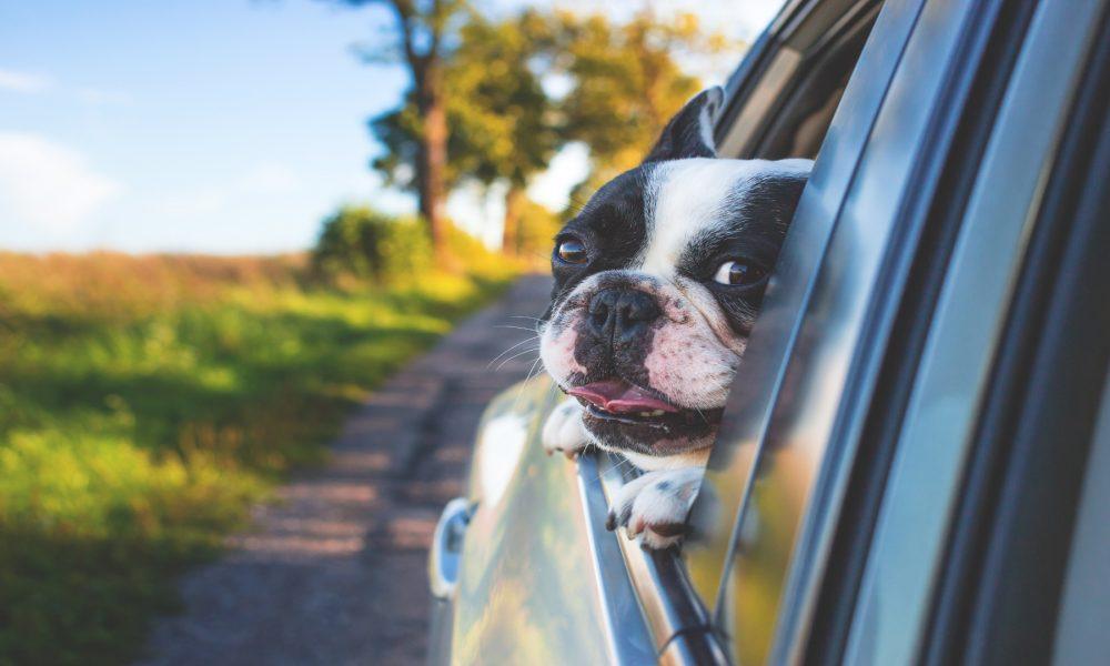 Aunque no lo creas el tintado de lunas del coche es perfecto para tu perro.1920