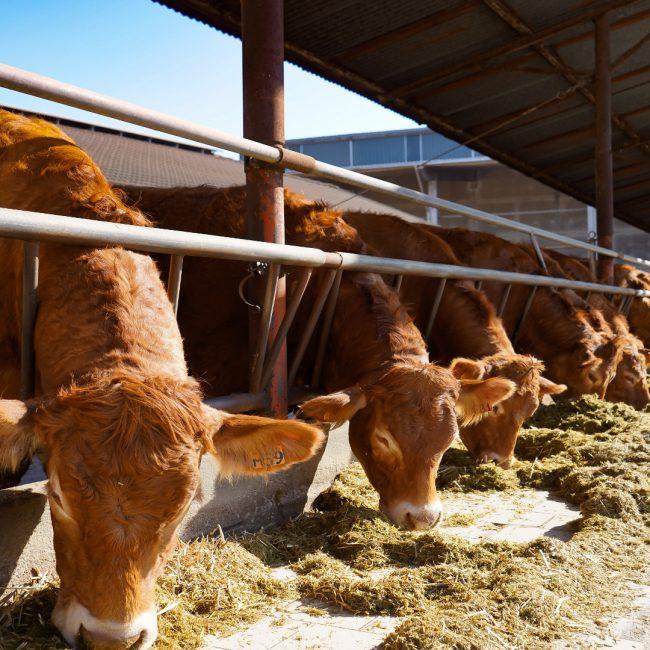 Cambios en la normativa de las ganaderías de leche ecológica