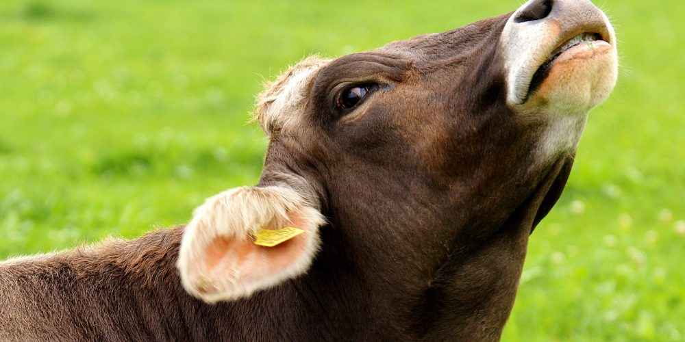 ¿Cómo controlar el estrés por calor en las vacas?