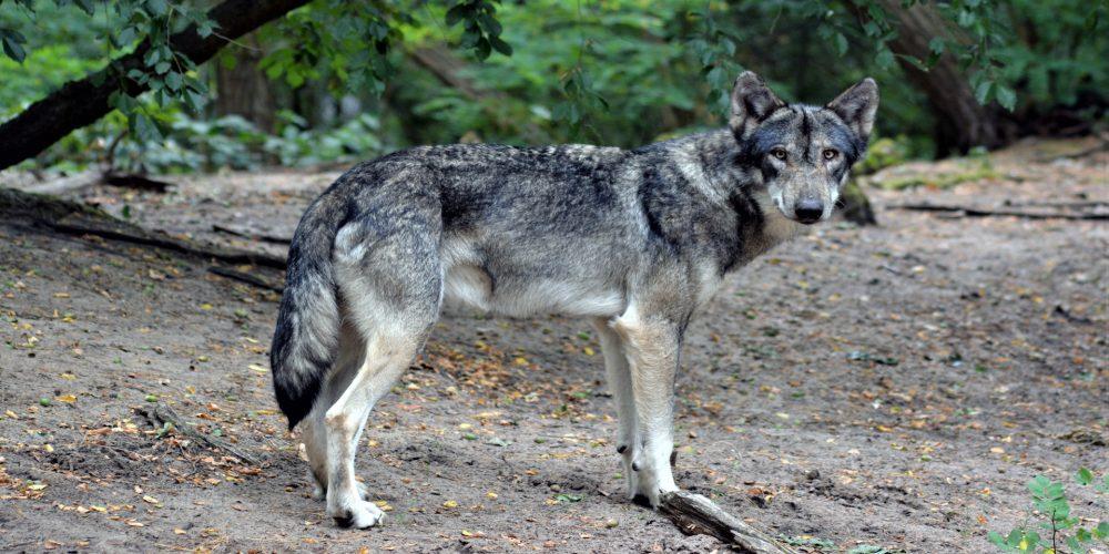 Los daños del lobo se duplicaron entre 2015 y el 2017