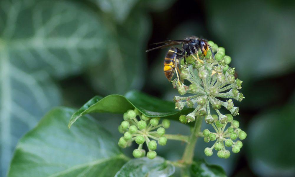 mas-del-30-de-la-produccion-de-miel-afectada-por-la-avispa-asiatica-1920