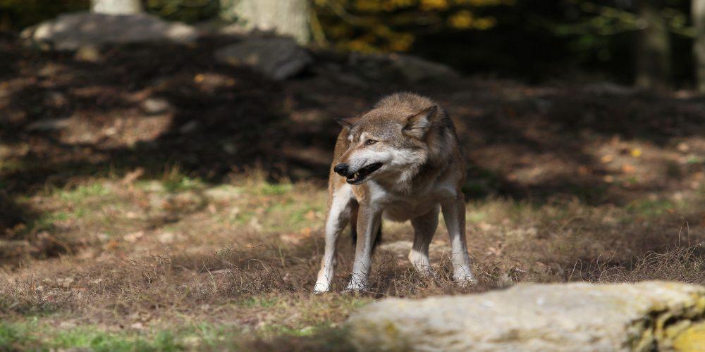 Ayudas para paliar los daños del lobo en las ganaderías