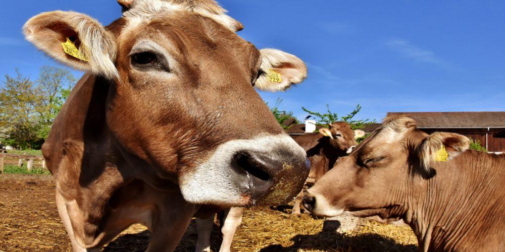 En 2019 el uso de antibióticos en vacuno de leche tendrán cambios