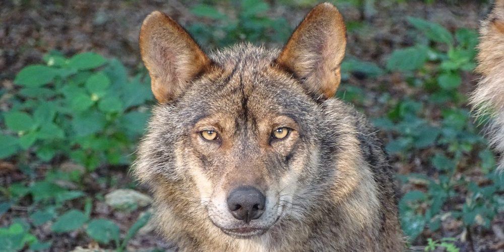 Abierto el plazo de las ayudas para paliar los daños producidos por el lobo en las ganaderías