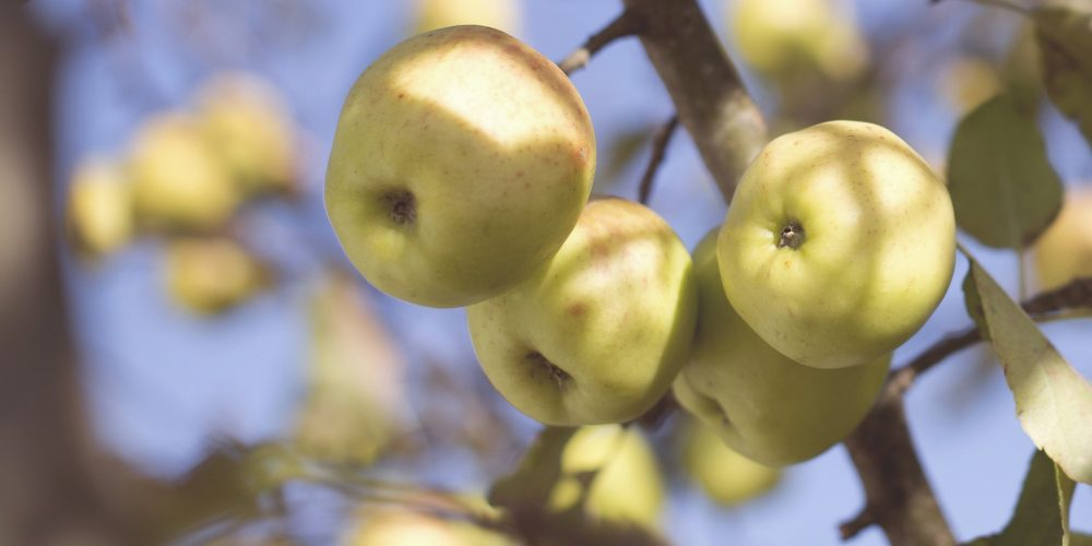 La maduración de los frutos: climatéricos o no climatéricos