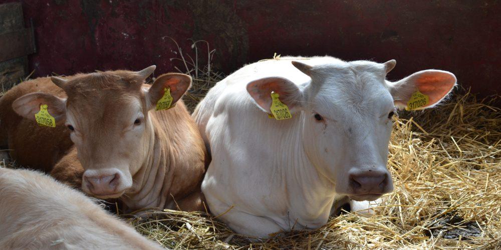 Arena para la cama del ganado vacuno