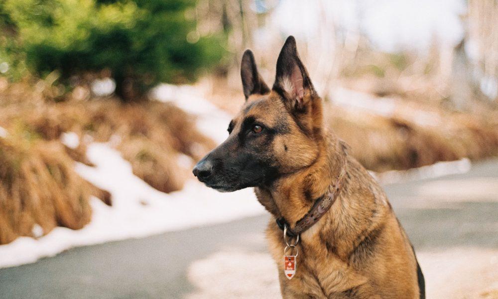 convocatoria para la obtención del titulo de adiestramiento de perros de guardia y defensa