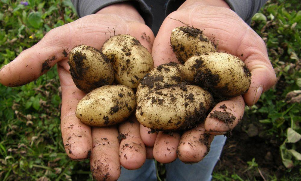 remata el plazo de solicitud de indemnizaciones por la polilla de la patata