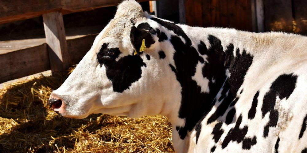 ¿Cómo mover una vaca cuando ella no quiere?